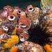 Ascidian mob #marineexplorer