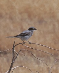 Loggerhead Shrike (Tom Clifton) Tags: ca25 sanbenitocounty birding shrike losh