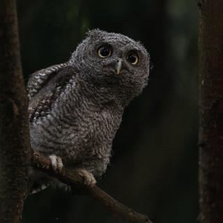 Eastern Screech Owlet 4