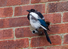 Seeking Shelter (Julian Chilvers) Tags: 7dwf dorset uk bird fauna magpie ferndown animal