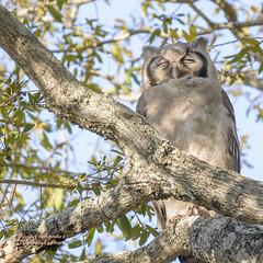Verreaux's Eagle Owl Snoozing at Kruger National Park, South Africa (D200-PAUL -- Taking Week Off) Tags: milkyeagleowl owlmilkyeagle verreauxseagleowl eagleowlverreauxs julesverreaux verreauxjules gianteagleowl eagleowlgiant owl bubolacteus strigidae ngalasafarilodge ngala safarilodge beyond krugernationalpark kruger nationalpark southafrica paulfernandez