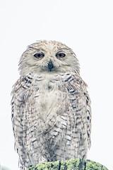 Snowy Owl in August (jim sonia) Tags: birds massachusetts newburyport places snowyowl usa bird