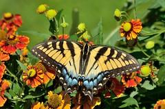 Eastern Tiger Swallowtail on Sneezeweed (msembeck) Tags: d7000 mybackyard eastern tiger swallowtail sneezeweed