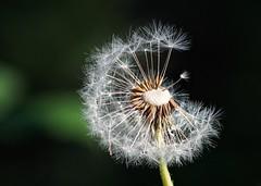 Make a wish... (janrs7) Tags: macro closeup dandelion flower summer tamron70300mmmacro seeds