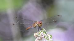 Dragonfly (Torok_Bea) Tags: sigma sigma105 dragonfly szitakötő nikon nikond7200 d7200 natur nature macro macrolife sigmalens sigmamacro littlebalaton kisbalaton kányavárisziget holiday bokeh bokehbliss
