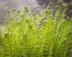 le Pont de Espagne (mrossmedia) Tags: france pontdeespagne hike summer lac lacdegaube europe nature mist fog ferns fern green
