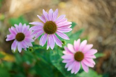 Three (imageClear) Tags: coneflowers purple beauty summer three aperture nikon d600 105mm imageclear flickr photostream