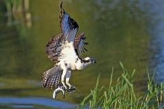 Double Catch (Tom Fenske Photography) Tags: osprey doublecatch twofish bird raptor fish prey double wildlife