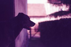 (damiancarta) Tags: fujichromesensia100 e6 slidefilm colorreversalfilm poland analogue 35mm colorshift magenta lomography pentax pentaxsmc pentaxsfxn pentax50mm17 hund dog bokeh schatten