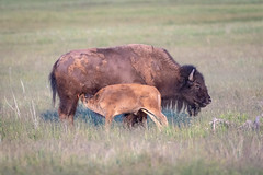 Bison Nursing Calf (grimeshome) Tags: davidgrimesphotographer davidgrimesphotography grandtetonnationalpark grandteton grandtetonsnationalpark tetons grimeshomephotography grimeshome nature wilderness nationalpark nationalparks wildlife mammal bison americanbison buffalo calf baby babyanimal babybison nursing feeding
