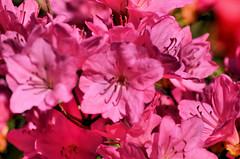 2018-05-08 (3) azaleas (JLeeFleenor) Tags: photos photography md maryland bowie bowiemd outside outdoors flowers flora pink azaleas