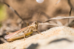 Common Field Grasshopper (RichardJames1990) Tags: common field grasshopper chorthippus brunneus brown rubbing legs chirping whistling song male blasck stripe spot antennae segmented cricket insect arthropod small beige yellow six macro tamron 90mm handheld natural light eyes compound focus bokeh blurred background close up nature wildlife trust channel islands southern cliffs giffoine alderney guernsey state camouflage