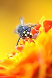Piha-ampiainen - Vespula vulgaris - Yellow-jacket