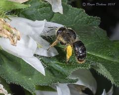 Melitta haemorrhoidalis fem 02 (Roger Dickens) Tags: bee garden melittahaemorrhoidalis pentaxk3 50mmmacro flashphotography solitarybee