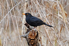Черный дрозд. (tam6524) Tags: черныйдрозд blackbird turbusmerula turdidae bird animal nature wood male