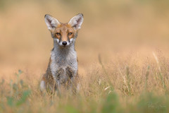 'Here's Looking at You, Kid' (benstaceyphotography) Tags: nikonuk wildlife nature predator vulpesvulpes fox redfox