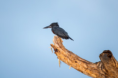 Giant Kingfisher (Mujtaba Hussain Shah) Tags: spottedkingfisher giantkingfisher greatriftvalley kenya africa wildlife birdphotography ngc avian nature outdoors birdwatcher birdlife colourfulbirds africanbirds birdperfect ornithology waterbird africanwildlife boatride safari npc beautifullycaptured perch naturesharmony avianexcellence bbexcellence birdportrait wildlifephotography birdonabranch naturephotography bestshots