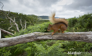 Wide Angle Red Squirrel