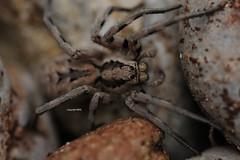Lycosidae (Phil Arachno) Tags: greece spider spinne arachnida chelicerata arthropoda lycosidae tenaro griechenland peleponnes
