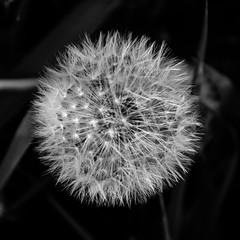 Dandelion B&W (Richgt1) Tags: flower dandelion d5100 nikon bw black white blackandwhite
