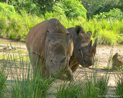 Seeing Eye to Eye (Harry Rother) Tags: rhino rhinoceros white safari