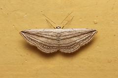 Geometridae, Scopula opicata - Kibale, Uganda (Nick Dean1) Tags: animalia arthropoda arthropod hexapoda hexapod insect insecta lepidoptera geometridae scopula scopulaopicata kibalenationalpark kibale uganda