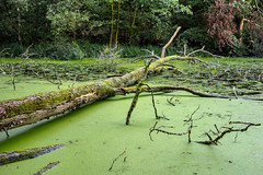 Pond (14.08.2018) (Siebbi) Tags: waterlentil lemna treetrunk trunk baumstamm tree baum grün green waterlens duckweed wasserlinse wasser water gewässer tümpel teich pond forest wald