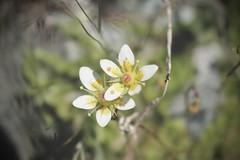 moehringies ciliées ? (bulbocode909) Tags: valais suisse fleurs montagnes nature arolla moehringiesciliées vert jaune
