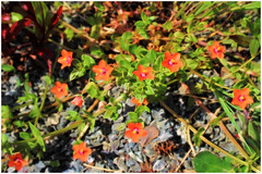 Scarlet Pimpernel (Julie (thanks for 8 million views)) Tags: topazglow scarletpimpernel anagallisarvensis 100flowers2018 sliderssunday hss wildflowers postprocessed colourful wexford ireland irish flora beautifulnature canoneos100d