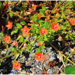 Scarlet Pimpernel thumbnail