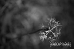 Flowers - 237 (oterrason) Tags: f2 50mm 250m 250 milvus makro planar zeiss carl d750 nikon closeup macro monochromatic monochrome blackandwhite frontyard yard summer lawn garden life seed dandelion weed nature plant flower