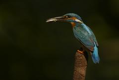 Kingfisher (J J McHale) Tags: kingfisher alcedoatthis