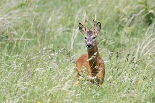 Roe Deer Lincolnshire 15-06-18 Ian W