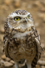 BURROWING OWL (_jypictures) Tags: animalphotography animals animal animalplanet burrowingowl owl wildlife wildlifephotography wiltshire naturephotography nature photography pictures birdwatching birdingphotography birding bird birds birdphotography birders birdofprey ukwildlife ukbirding ukbirds