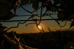 Atardecer entre viñedos (nrbargo) Tags: viñas vineyard bodega cellar uva grape larioja ebro cielo bluesky ceiling