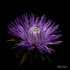 Aster (Magda Banach) Tags: canon canon80d sigma150mmf28apomacrodghsm aster blackbackground colors flora flower macro nature plants violet
