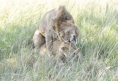 Lions mating (sspike@rogers.com) Tags: lion cat mating wildlife steverossi nature green tree shade tanzania eastafrica canon serengeti