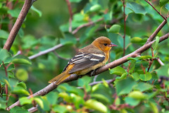 Balimore oriole (F) (Peter Stahl Photography) Tags: female baltimoreoriole oriole summer