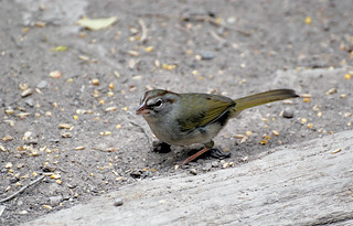 Olive Sparrow1 4-13-13