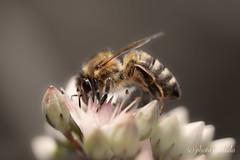 Bee ... always seeking for nectar (gporada) Tags: summer hohenheimgardens germany macro bee sonya7ii ilce7m2 tamron90mm flower