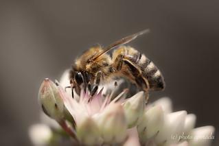 Bee ... always seeking for nectar