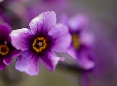 Purple beauty (setoboonhong) Tags: nature flower small purple colour macro depth field bokeh blur tromso botanical garden norway quote hans christian anderson outdoor travel