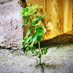Against All Odds (World-viewer) Tags: travel ngc street iphonese iphone concrete tree plant closeup macro art artistic