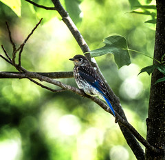Early Encounter (Portraying Life, LLC) Tags: dbg6 da3004 hd14tc k1mkii matthaeibotanicalgardens michigan pentax ricoh unitedstates bird closecrop handheld nativelighting juvenile tree