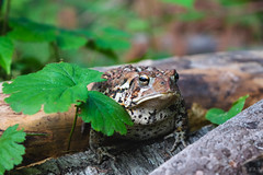 American Toad (era.ph) Tags: animals big natural love summer nature muskoka gravenhurst neverstopexploring nikond5300 shotz instagram forest amphibian frog toad green american north america search encounter