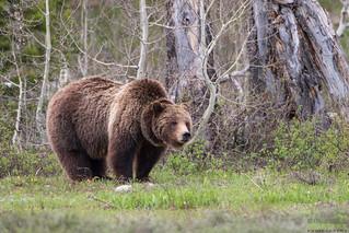 Grizzly Bear #399, Ursus arctos horribilis, Grand tetons National Park, Wyoming