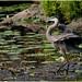 heron and pond