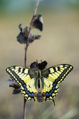 Koninginnepage.( Papilio machaon) (look to see) Tags: vlinder koninginnepage papiliomachaon sintmaartensheide beek bree belgium bokeh vintagelens bokehlicious butterfly