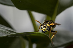 Wespe (Lutz.L) Tags: natur tier insekt stechinsekt wespe