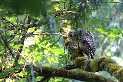 owl (tracydonald) Tags: vancouver bird barred centennialpark owl sidney saanichton saturday victoria yyj